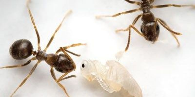 Infected Ants Chemically Attract Workers to Destroy Them