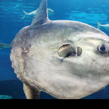 "Ocean Sunfish Could Offer Clues to the ""Rise of Slime"""