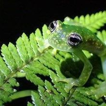 Frogs Fight Back From Fungal Attack