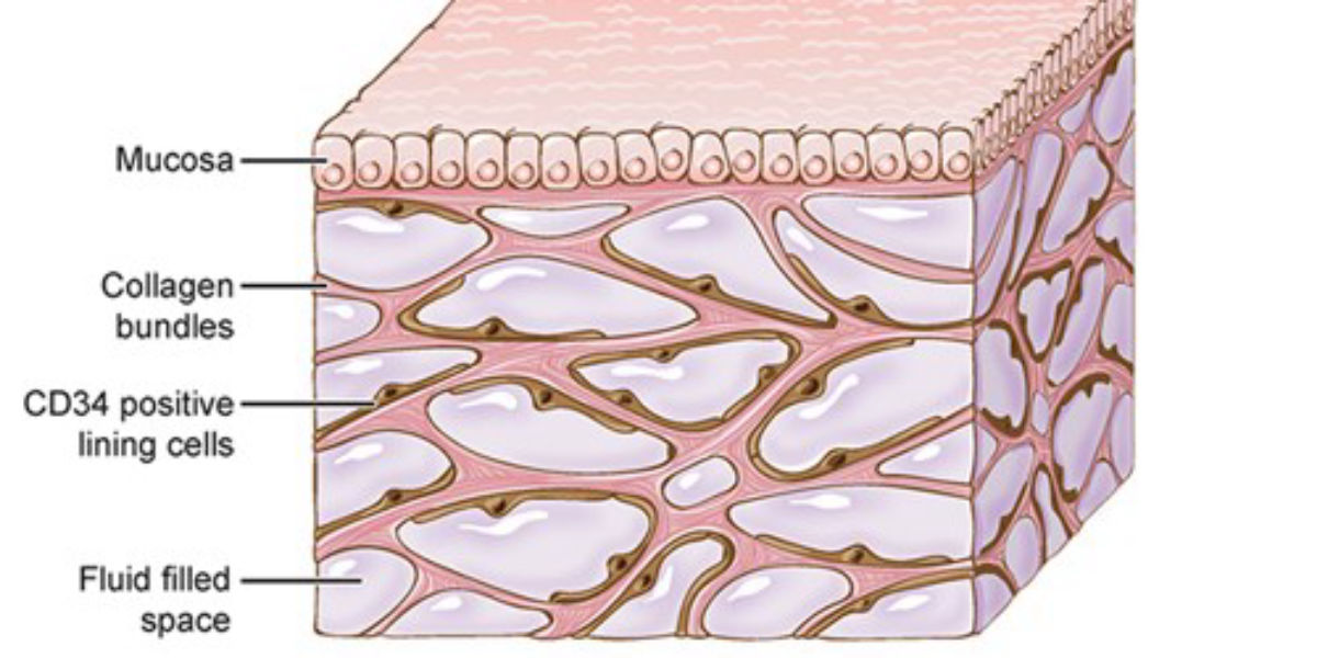 Is The Interstitium Really A New Organ The Scientist Magazine