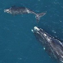 Endangered Right Whales Have No New Babies This Breeding Season