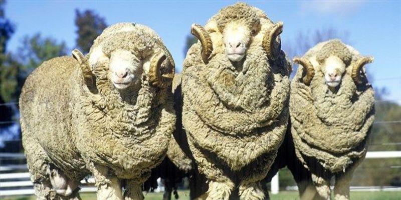 Merino Sheep Provide Clue to Curly Hair