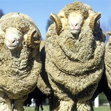 Merino Sheep Provide Clue to Curly Hair