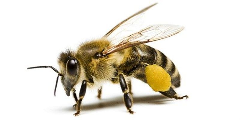Bees' Molecular Responses to Neonicotinoids Determined