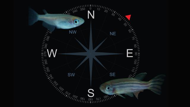 zebrafish, medaka, and compass