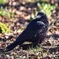 Number-Selective Neurons Found in Untrained Crows' Brains