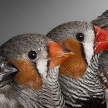 Birds With Older Fathers Have Shorter Telomeres, Lifespans