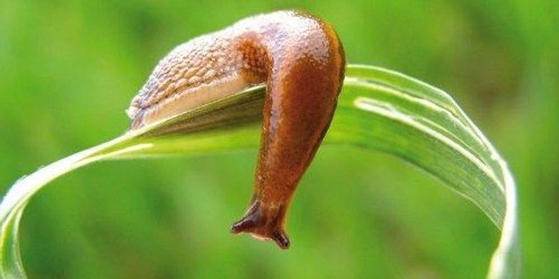 Serotonin Involved in a Slug Host's Response to a Parasite