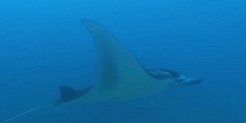 Image of the Day: Soaring Manta Rays