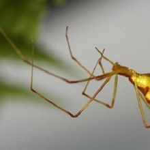 Hawaiian Spiders on Different Islands Evolved Same Disguise in Parallel