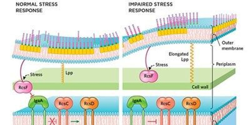 Bacterial Cell Envelope Size is Key to Membrane Stress Response
