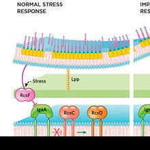 Infographic: Relaying Stress Signals in Bacteria