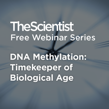 DNA Methylation:  Timekeeper of Biological Age