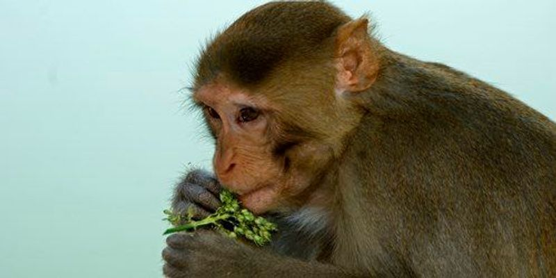 Stem Cell Implants Improve Monkeys' Grip After Spinal Cord Injury