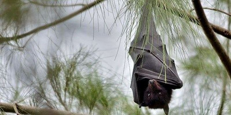 Bats May Have Taken on Viruses To Stay in Flight