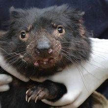 Human Cancer Drugs May Be Effective in Tasmanian Devils