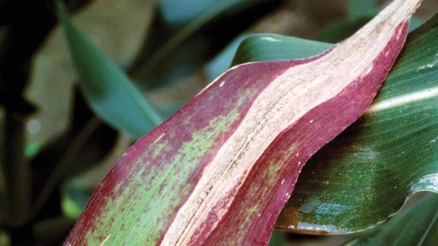 研究人员从植物病毒中学习以保护作物