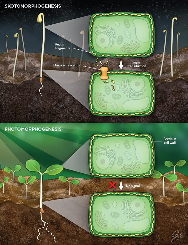 Plant Cell Walls Can Control Growth in the Dark | The