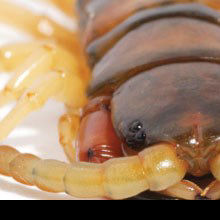 Researchers Mine Centipede Toxins for Analgesics