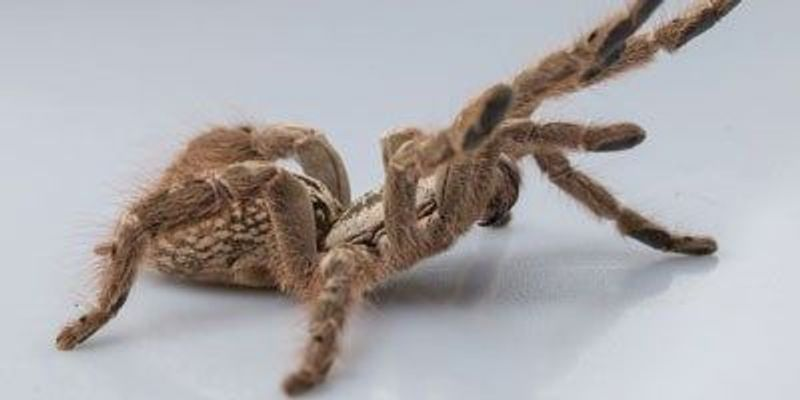 Mining Spider Toxins for Analgesic Clues