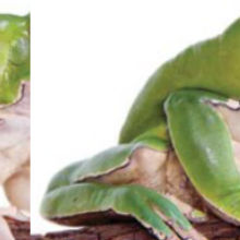 Frog Skin Yields Potent Painkillers, but None Clinic Ready