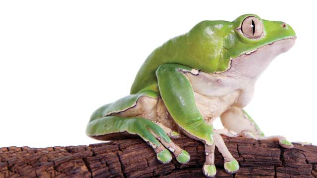 frog skin yields potent painkillers but none clinic ready the