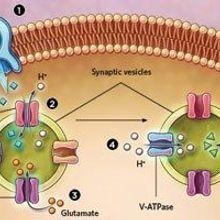 Presynaptic Neurons Fine-Tune Dopamine Signaling