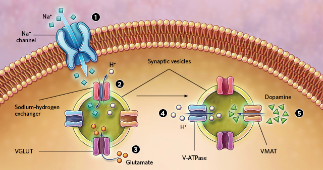 presynaptic neurons fine tune dopamine signaling the scientist