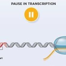 Paused RNA Polymerase Quashes New Initiation of Transcription