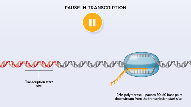 paused rna polymerase quashes new initiation of transcription the Trp Operon Diagram