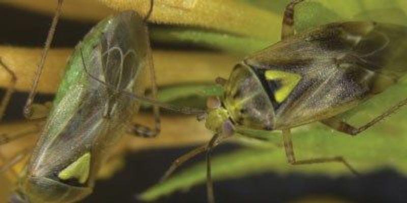 Insect Deploys Anti-Antiaphrodisiac