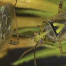 Insect Deploys Anti-Antiaphrodisiac