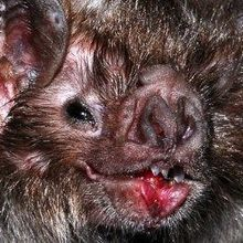 Genomic Particularities Hint at Vampire Bat's Ability to Live Off Blood