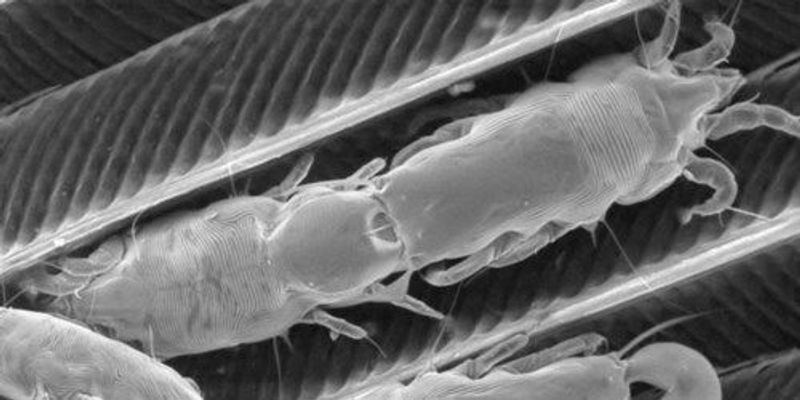 Image of the Day: Feather Mites