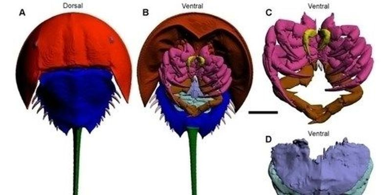 CT Scans Reveal New Muscles in Horseshoe Crabs