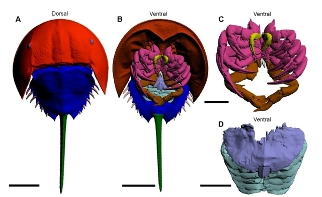 Ct Scans Reveal New Muscles In Horseshoe Crabs The Scientist Magazine