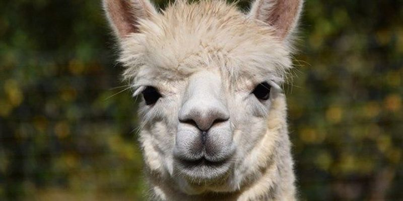 Researchers Produce Alpaca Antibodies Using Yeast