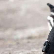 Image of the Day: Camera-Toting Penguin