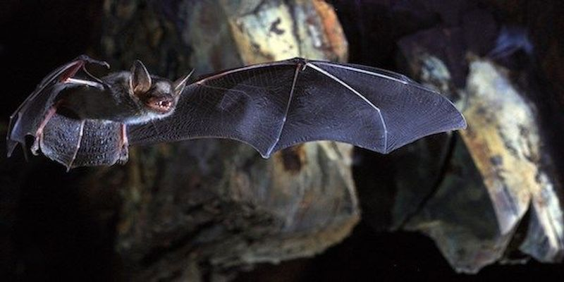 Study: Telomeres Don't Shorten with Age in Longest-Lived Bats