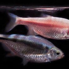 Blind Cavefish in Mexico Offer Clues to Sleep Regulation