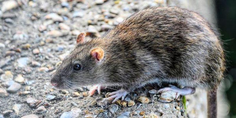CDC Identifies Seoul Virus Outbreak Among Pet Rat Owners