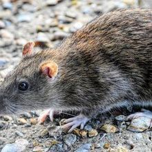 CDC Identifies Seoul Virus Outbreak Among Pet Rat Owners