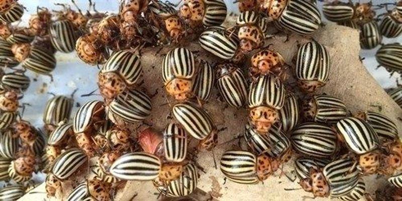 Image of the Day: Colorado Potato Beetles
