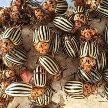 Image of the Day: Colorado Potato Beetles