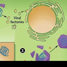 How Viruses Attack Plants