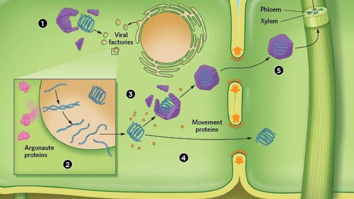Simple Plant Cells Diagram Cell Easy How Viruses Attack Plants The Scientist Magazine