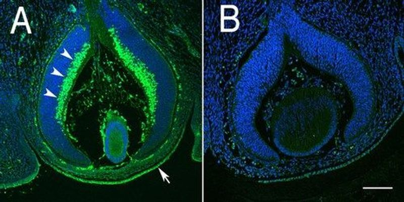 Image of the Day: Mouse Cornea