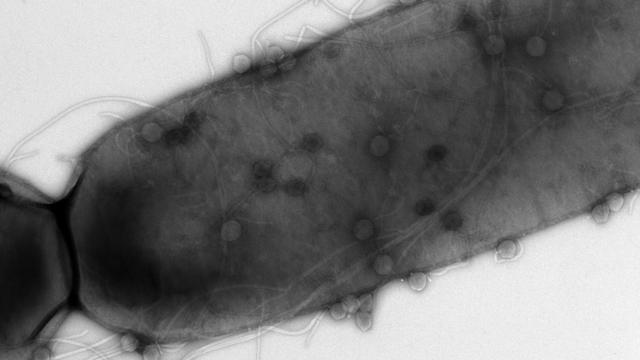 研究人员在细菌中发现了10种新的免疫系统