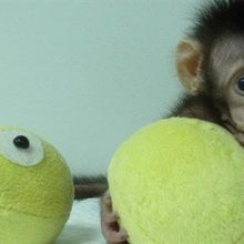 Monkeys Cloned by Dolly-the-Sheep Technology