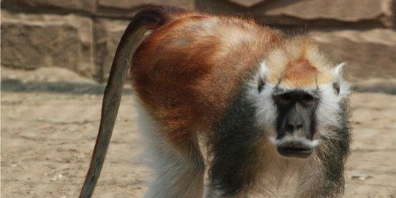 Image of the Day: Mustachioed Monkey